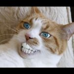 【爆笑】世界の面白ネコ動画まとめ 見てるだけで癒される猫特集 Funny Cat Vine Compilation
