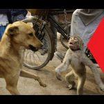 動物 かわいい 犬対猿おかしいビデオ(モンキー面白い動画)