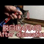 ゼロの脱臼その後【かわいい猫の面白い動画】