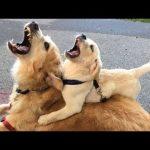 「かわいい犬」 笑わないようにしようとしてください – 最も面白い犬の映画 2017 #17