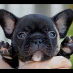 「絶対に笑ってはいけないフレンチブルドッグの面白い動画集」最高におもしろ犬,猫,動物のハプニング, 失敗画像集