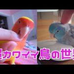 超カワイイ鳥の世界!癒し 面白い 動画集