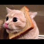 「かわいい猫」 笑わないようにしようとしてください – 最も面白い猫の映画 #183