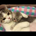 「猫かわいい」 母親と遊んでいる子猫 – 最も面白い猫の映画2017 #78