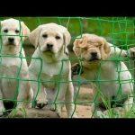 「かわいい犬」 笑わないようにしようとしてください – 最も面白い犬の映画 2017 #69