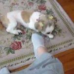 犬の面白い動画 階段を上がる犬